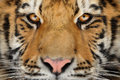 Tiger portrait. Aggressive stare face. Danger look. Royalty Free Stock Photo