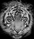 Tiger portrait beautiful close up of a Royalty Free Stock Images
