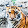 Tiger portrait bengal tiger Stock Image