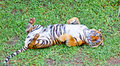 Tiger, portrait of a bengal tiger. Indonesia. Royalty Free Stock Photo