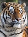 Tiger a portrait of a colorfull Royalty Free Stock Images