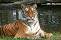 Tiger Portrait - Resting/Laying Down Royalty Free Stock Photos