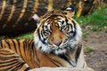 Tiger portrait of a sumatran tiger zoo jihlava czech republic Royalty Free Stock Photos