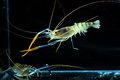 Tiger prawn in tank aquarium Royalty Free Stock Images