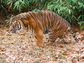 Tiger a is preparing to hunt Royalty Free Stock Photo