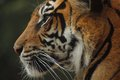 Tiger profile crisp whiskers and markings close up Stock Photography