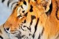 Tiger profile male amur or siberian panthera tigris altaica enjoying the sunset Royalty Free Stock Images