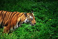 Tiger on the Prowl Royalty Free Stock Photo