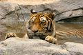 Tiger relaxing in the water an indochinese cooling off a pool southern china Royalty Free Stock Photos