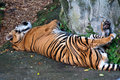 Tiger resting Royalty Free Stock Image