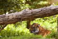 Tiger resting in a clearing the grass Stock Image