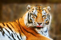 Stock Photography Tiger