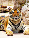 Tiger resting peacefully on the ground Royalty Free Stock Photo