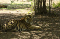 Tiger restins in shade a relaxing on a hot summer day Royalty Free Stock Images
