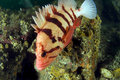 Tiger Rock Fish 2 Royalty Free Stock Photo