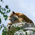 Tiger on the rock, lick Royalty Free Stock Images