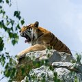 Tiger on the rock, yawn Royalty Free Stock Photos