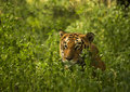 Tiger a royal bengal in the wild Royalty Free Stock Images