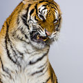 Tiger's Snarling Royalty Free Stock Photo