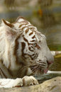 Tiger this is a series of images of white a rare and majestic creature Royalty Free Stock Image