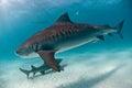 A tiger shark drifting by Royalty Free Stock Photo