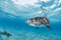 A tiger shark swimming close to the surface in the clear ocean Royalty Free Stock Photo