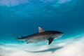 A tiger shark swimming peacefully in clear, blue water Royalty Free Stock Photo