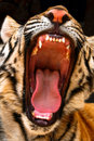 Tiger Showing His Teeth Royalty Free Stock Photo