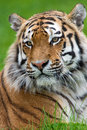 Tiger siberian against a background of blurred green grass Stock Photos