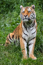 Tiger a siberian sitting in grass Stock Photo