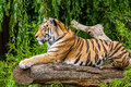 Tiger a siberian sitting on a tree Royalty Free Stock Photo
