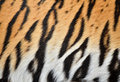 Tiger skin Royalty Free Stock Photography