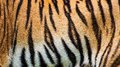 Tiger skin texture Royalty Free Stock Photo