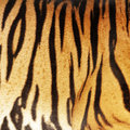 Tiger skin texture of real Royalty Free Stock Photo