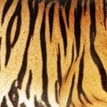 Tiger skin Royalty Free Stock Photo