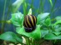 Tiger snail Stock Photos