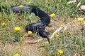 Tiger snake australia freycinet national park tasmania Royalty Free Stock Images