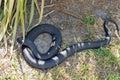 Tiger snake australia tasmania Royalty Free Stock Photography