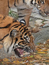 Tiger snarl close up detail of growling at something in water Stock Image