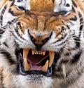 Tiger Snarl and Teeth Royalty Free Stock Photo