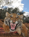 Tiger snarling Stock Images
