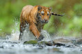 Tiger with splash river water. Tiger Action wildlife scene, wild cat, nature habitat. Tiger running in water. Danger animal, tajga