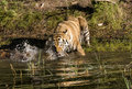 Tiger Splashing in the River Royalty Free Stock Image