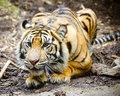 Tiger stalking intense its pray Royalty Free Stock Images
