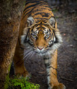 Tiger stalking prey wild hunting Royalty Free Stock Photography