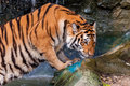 Tiger standing in water and smelling orange black striped bengal the Stock Image