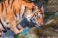 Tiger standing in water and smelling orange black striped bengal the Stock Photos