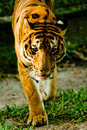 Tiger staring. Royalty Free Stock Images