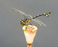 Tiger striped dragonfly resting on a dried out remains of a lotus flower Stock Image