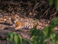 Tiger sultan wakeup the male son of t tigress spotted after having a sleep in ranthambhore national park Stock Photo